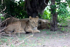 Lion lay down Stock Images