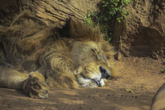 The lion lay under the Sun. Royalty Free Stock Photos