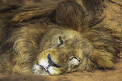 The lion lay under the Sun. Royalty Free Stock Images