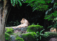 Lion laying. Single lion laying in jungle. Singapore Stock Images