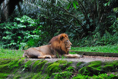Lion laying. Single lion laying in jungle. Singapore Royalty Free Stock Photography