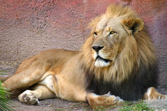 Lion laying down in grass Royalty Free Stock Photo