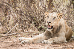 Lion laying down and starring Royalty Free Stock Photos