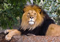 Lion Laying Down on Tree Branches stock images