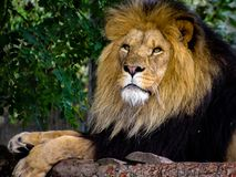 Lion Laying Down on Tree Branches royalty free stock photography