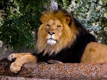 Lion Laying Down on Tree Branches stock photography