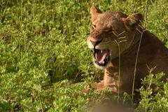 Lion laying in the field close up profile snarling Stock Photos