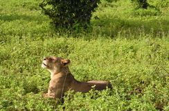 Lion laying in the field close up profile snarling Royalty Free Stock Images