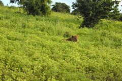 Lion laying in the field close up profile snarling. Lion surrounded by green plants, flys on the lions nose lion is sunning himself Royalty Free Stock Photography