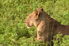 Lion laying in the field close up profile Stock Photography