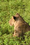 Lion laying in the field close up profile Royalty Free Stock Photography