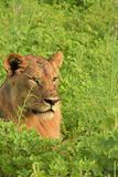 Lion laying in the field close up Royalty Free Stock Image