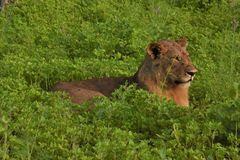 Lion laying in the field close up Stock Photos