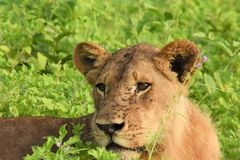 Lion laying in the field close up Royalty Free Stock Images