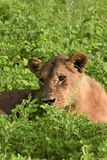Lion laying in the field close up Stock Image