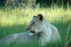 Lion laying in grass Royalty Free Stock Image