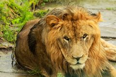 Lion. Laying on the grass Stock Photography