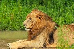 Lion. Laying on the grass Royalty Free Stock Image