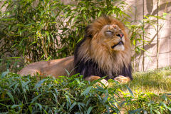 Lion Laying in het Gras, Mannelijke Leeuw Royalty-vrije Stock Afbeeldingen