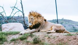 Lion laying on the hill looking in other direction stock photos
