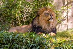 Lion Laying i gräset, manligt lejon Royaltyfria Bilder