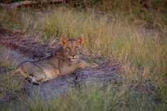 Lion laying on the road and starring. Stock Image