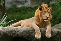 Lion laying on a rock. Stock Photos