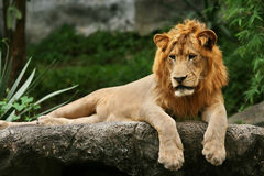 Lion laying on a rock Stock Photos