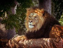 Lion laying in shade. Profile portrait of male lion laying in shade stock photography