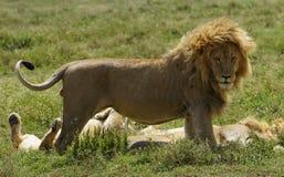 Lion le roi Photo libre de droits