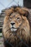 Lion le roi de l'animal Photographie stock libre de droits