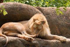 Lion le roi du lion de jungle Images stock