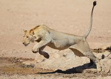 Free Lion Leaping Like A Cat Over Water In The Kalahari Stock Image - 17639131