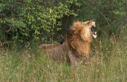 Lion, Leeuw, Panthera leo. Lion male yawning Masai Mara Kenya, Leeuw mannetje gapend Masai Mara Kenia stock photo