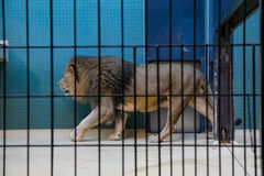 Lion. Leo walks in the cage Stock Images