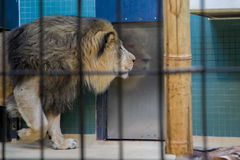 Lion. Leo walks in the cage Stock Image