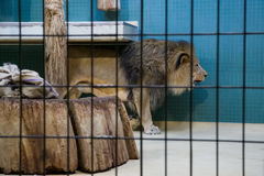 Lion. Leo walks in the cage Royalty Free Stock Image