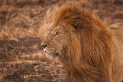 Lion. Leon africano acechando a su presa Stock Photography