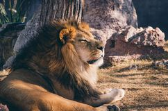Lion. Leon africano acechando a su presa Royalty Free Stock Photography