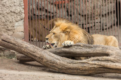 Lion lick. A big lion lick leg in his cage Royalty Free Stock Photo