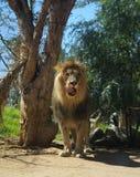 Lion licking stock photos