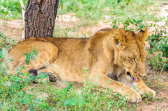 Lion licking itself in Tarangire Park, Tanzania Stock Image