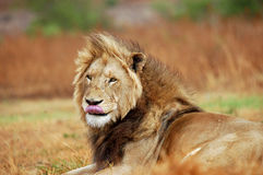 Lion licking lips Royalty Free Stock Photography