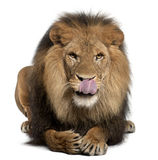 Lion licking lips, Panthera leo, 8 years old Stock Image