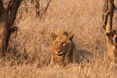 Lion licking Royalty Free Stock Photography