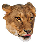 Lion licks female face isolated at white Royalty Free Stock Photo