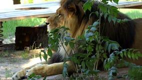 Lion Lies Behind masculino enorme Bush en un parque zoológico en verano almacen de video