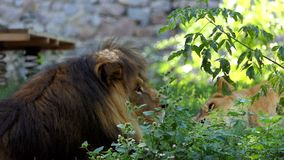 Lion Lies Behind masculino impresionante Bush en un parque zoológico en verano metrajes