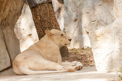 Lion lies down Stock Image