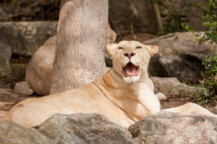 Lion lies down Stock Photography